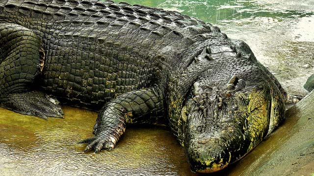 Lolong Crocodile Taxidermy Of crocodile  quot lolong  quot Lolong Crocodile Taxidermy